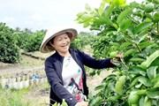 [Photo] Người phụ nữ đầu tiên trồng, bán chanh không hạt tại Việt Nam