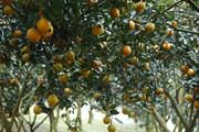 [Photo] Về huyện Cao Phong thăm những vườn cam đang mùa chín rộ