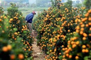 [Photo] Xã trồng quất Đông Hòa ở Thái Bình nhộn nhịp vào vụ Tết
