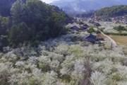 Lên Điện Biên ngắm hoa mận nở trắng muốt dưới chân đèo Tằng Quái