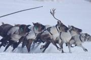 [Photo] Đua hươu kéo xe trượt tuyết - môn thể thao độc đáo ở nước Nga