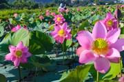 [Photo] Đà Nẵng: Hoa sen rực rỡ khoe sắc, tỏa ngát hương thơm