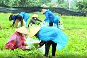 Phụ nữ Bắc Ninh đội mưa thu hoạch nông sản chi viện cho người Hà Nội