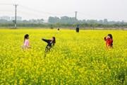 Giới trẻ Hà Nội đua nhau đi ngắm ruộng cải vàng đầu đông