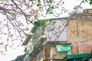 [Photo] Tháng Ba Hà Nội nên thơ trong mùa cây trổ lá