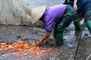 Làng nghề cá chép đỏ Thủy Trầm tất bật trước ngày ông Công ông Táo