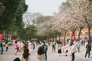 Hoa ban nở rộ ở Thủ đô, người dân nô nức rủ nhau đi chụp ảnh