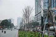 Cận cảnh hàng cây phong lá đỏ héo khô sắp bị thay thế ở Hà Nội