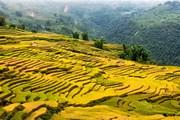 Tháng Chín, về Y Tý ngắm 'mùa vàng' trên những thửa ruộng bậc thang