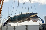 [Video] Sai lầm của con người khi săn bắt cá voi vô tội vạ