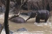 [Video] Thái Lan cứu hộ một đàn voi con bị kẹt bên dòng nước lũ