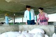 Cơ cấu lại thời hạn trả nợ cho khách hàng vay chăn nuôi lợn