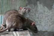 Chuột chết nổi lềnh bềnh ở New York sau bão Sandy