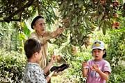 Trẻ em thích thú thu hoạch cây vải thiều trăm tuổi ở Thanh Hà