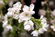 Hà Nội: Hoa anh đào khoe sắc tại vườn hoa tượng đài Lý Thái Tổ