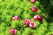 Đà Nẵng: Ngắm hoa đào chuông khoe sắc trên khu du lịch Bà Nà