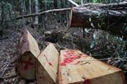 """Hình ảnh rừng pơmu tại Đắk Lắk liên tục bị """"thảm sát"""""""