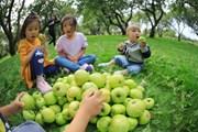 [Photo] Người dân Nga nhộn nhịp bước vào mùa thu hoạch táo