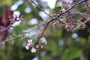 [Photo] Hoa Tớ Dày rắc Xuân rực rỡ khắp rẻo cao Tây Bắc