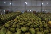 [Photo] Đắk Lắk: Nâng cao giá trị cho sản phẩm sầu riêng