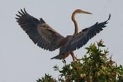 [Photo] Chiêm ngưỡng vẻ đẹp các loài chim ở Vườn quốc gia Tràm Chim