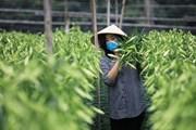 [Photo] Người dân Tây Tựu tất bật vào vụ thu hoạch hoa loa kèn