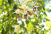 Chìm đắm trong thế giới của loài bướm Vua tại Michoacan