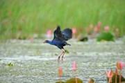 Ninh Bình: Mùa chim di trú trên 'bức tranh thủy mặc' ở đầm Vân Long