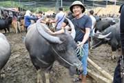 Đến Nghiên Loan mục sở thị chợ phiên trâu bò lớn nhất vùng cao Bắc Kạn