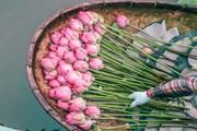 Khám phá công đoạn công phu đưa hương sen Hồ Tây vào trà Việt