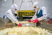 Cận cảnh quy trình chế biến dứa xuất khẩu tại nông trường Đồng Giao