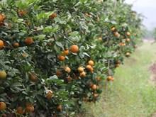 [Photo] Mãn nhãn vườn cam hữu cơ, quả sai trĩu tận gốc