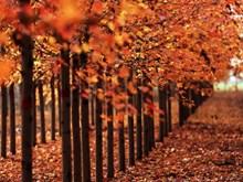Đắm mình trong rừng lá phong tuyệt đẹp mỗi độ Thu về