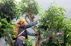 [Photo] Chè Shan tuyết Phình Hồ: Tiềm năng chờ được khai phá