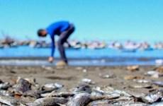 Chile: Cá hồi chết hàng loạt do sự xuất hiện loại vi tảo độc hại