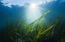 Cỏ biển biến mất đe dọa sức khỏe con người và sinh vật biển