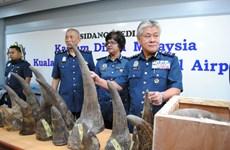 Malaysia thu giữ số lượng sừng tê giác trị giá 3,1 triệu USD
