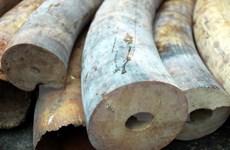 Truy tố 4 bị can trong đường dây buôn bán trái phép ngà voi