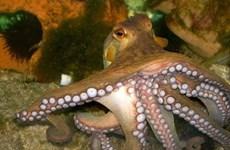 May mắn được cứu sống khi bị sốc phản vệ do bạch tuộc cắn