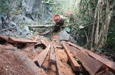 Khẩn trương làm rõ vụ gỗ quý hiếm bị chặt hạ tại rừng Phong Quang