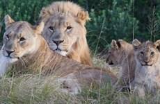 Đi săn trộm tê giác bất ngờ bị bầy sư tử cắn xé đến chết