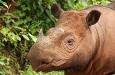 Tê giác một sừng ở Indonesia có nguy cơ tuyệt chủng vì sóng thần