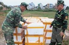 Bắt giữ và tiêu hủy trên 1 tấn cá đối đông lạnh nhập lậu từ Trung Quốc