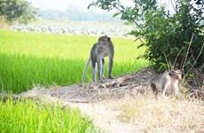 Truy bắt đàn khỉ hoang quậy phá, cắn người ở tỉnh Sóc Trăng