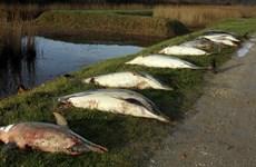1.100 con cá heo chết thảm đầy bí ẩn, trôi dạt vào bờ biển