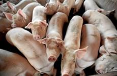 Nam Phi phát hiện ổ dịch tả lợn châu Phi sau một năm công bố xóa sổ