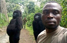 """Nhân viên kiểm lâm """"gây sốt"""" khi selfie cùng với khỉ đột ở Congo"""