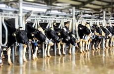 Vinamilk với 28 chuyến bay đặc biệt đưa đàn bò sữa về Việt Nam