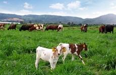 Trang trại bò sữa Organic theo tiêu chuẩn Châu Âu tại Việt Nam