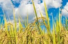 Philippines dự kiến giảm nhập khẩu gạo trong năm 2020